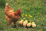 The Correct Treatment of Organic Fertilizer Chicken Dung with Poison